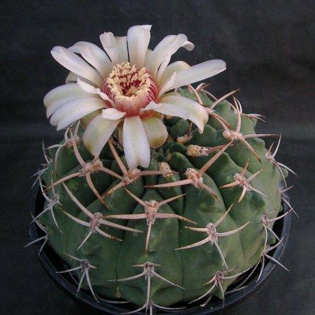 Sany0168--pugionacanthum--P 72--Koehres seed 664--ex Kousen en