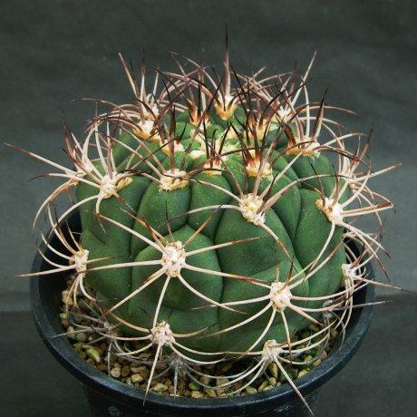 Sany0148--saglionis ssp tilcarense--RF 229--Maimar before Tilcar--ex Eden 18357