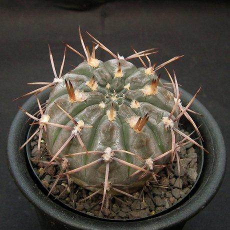 Sany0001-borthii-LB295--Alto Pencoso, Mosmote, San Luis-Piltz.seed.3419