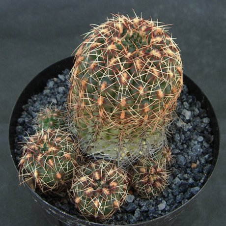 Sany0156-mesopotamicum--LB 2299--Bercht seed