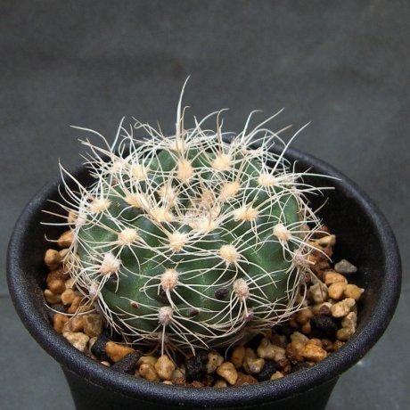 Sany0001-bruchii--GN 232-718--Calamuchita Cordoba 1200m--ex Eden 22229