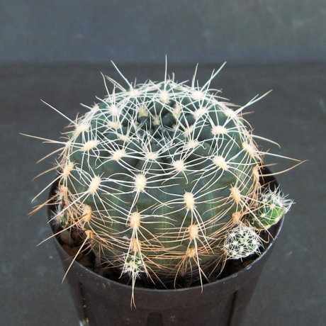 Sany0188--bruchii ssp susannae--HV 1281--Copina Cordoba--ex Eden 20004--