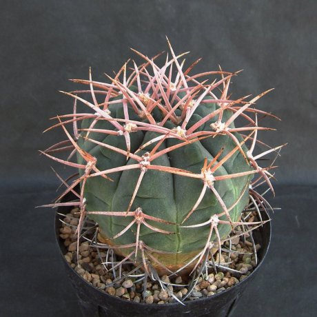 Sany0172--ctamarcense ssp schmidianum--GN 665-1825--ex Eden 16799
