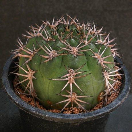 Sany0157--catamarcense v belense--VS 64--Mesa seed
