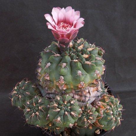 Sany0165--alboareolatum v ramosum--BKS 50-3--Piltz seed 902