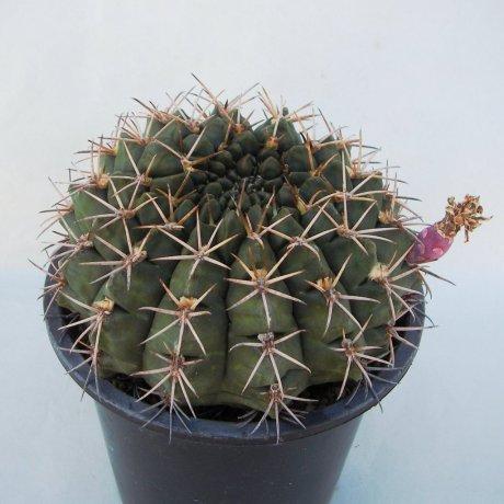 Sany0175 (2)--hamatum--FR 819--Koehres seed