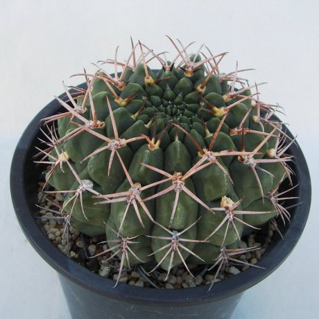 Sany0171 (2)--hamatum--FR 819--Mesa seed 468.6