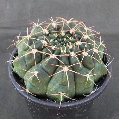 Sany0189--eytianum--STO 969--Pilta seed 5027 --ex milena