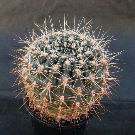 Sany0208--mardelplatense--WP 59-73--Piltz seed 3530