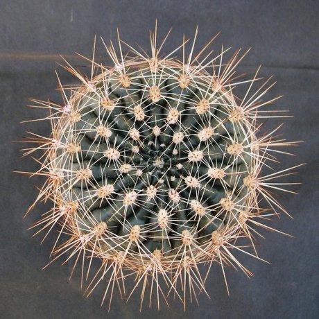 Sany0212--mardelplatense--WP 59-73 --Piltz seed 3530
