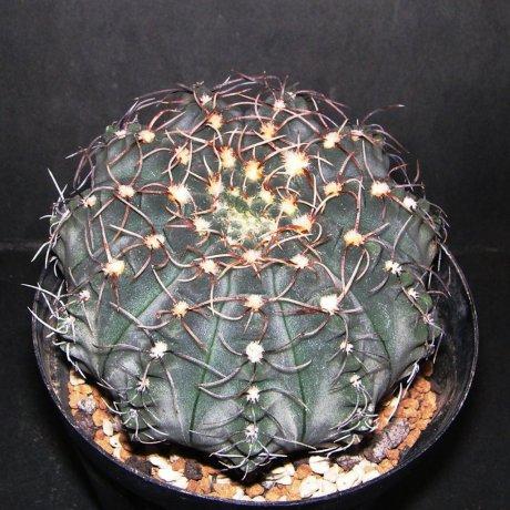 Sany0198--quehlianum v flavispinum--P 180--Piltz seed