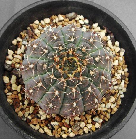 Sany0059-G. quehlianum v. flavispinum-P 180-Piltz seed
