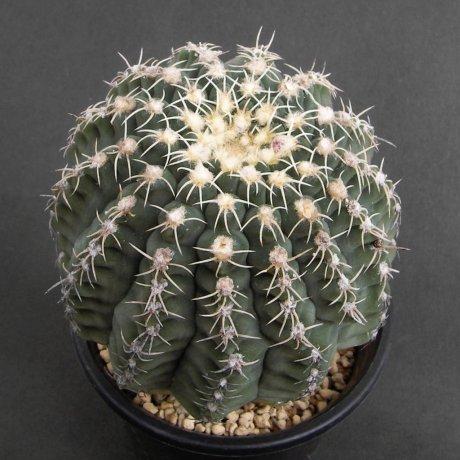 Sany0108--quehlianum v albispinum--Rowland seed