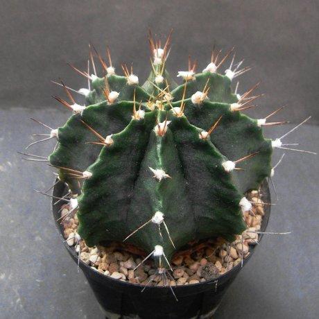 Sany0132--friedrichii v moserianum--LB 2203--10km S of Tte A Enciso --ex Eden 14428