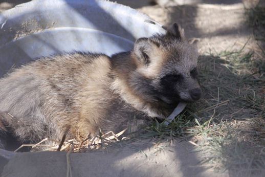 '15.10.18 raccoon dog 5049