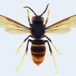 つまあかスズメバチ