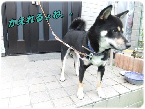 2015_0825黒シバくん0005
