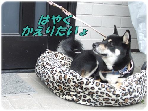 2015_0825黒シバくん0008