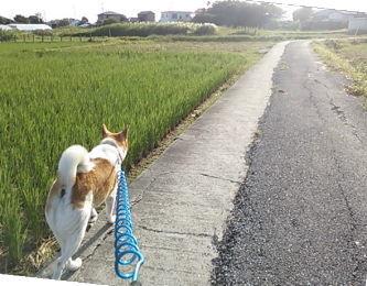 あおあおとした田んぼを見ながら散歩だ