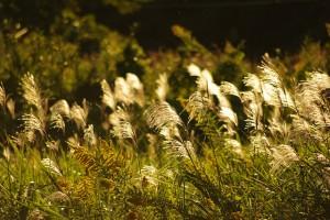 Silver-grass_01-300x20048888.jpg