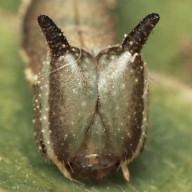 192-スミナガシ幼虫10mm顔-2015-08-23-OMD01478