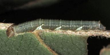 384-スミナガシ幼虫10mm-2015-08-22狭山-OMD01284