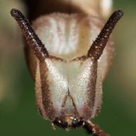 192-スミナガシ幼虫(頭)23mm-2015-08-22狭山-OMD01322