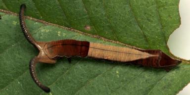 384-スミナガシ幼虫26mm-2015-08-23武蔵村山-OMD01364