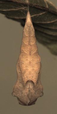 384-スミナガシ蛹30mm背-2015-09-07-OMD02961