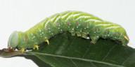 96-セダカシャチホコ幼虫50mm-2015-09-10茨城(産)-OMD03032