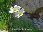 DSC_1887_1_monte_baldo_anemone_a.jpg