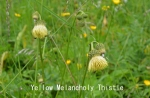 DSC_2353_1_yellow_melancholy_thistle_a.jpg