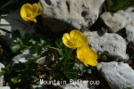 DSC_2961_1_mountain_buttercup.jpg