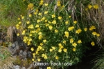 DSC_3521_1_common_rockrose_a.jpg