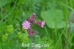 DSC_4138_1_red_campion_a.jpg