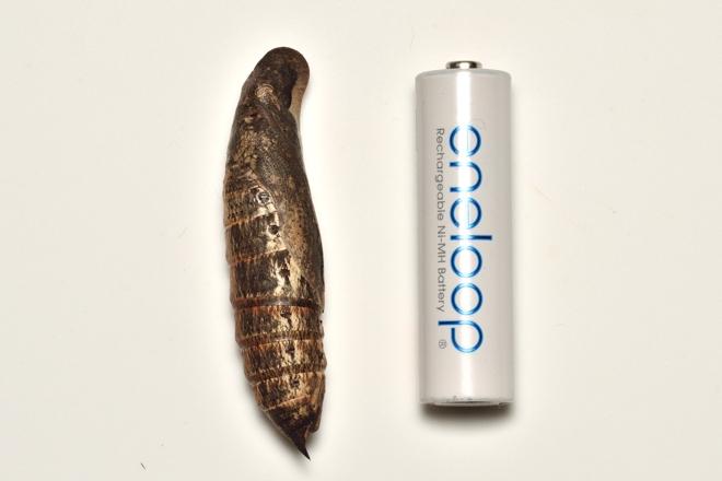 キイロスズメ大きさ比較