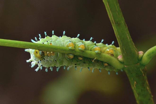シンジュサン幼虫3
