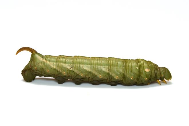 キイロスズメ緑