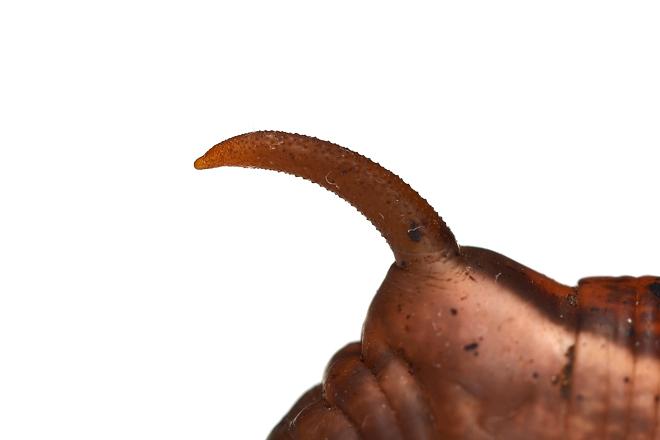 キイロスズメ尻尾