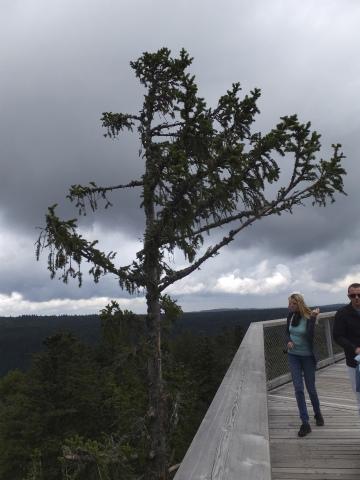 高さ40m地点の木