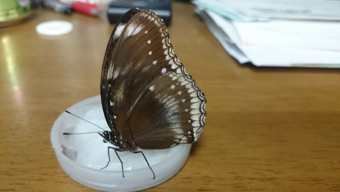 リュウムラ母蝶222