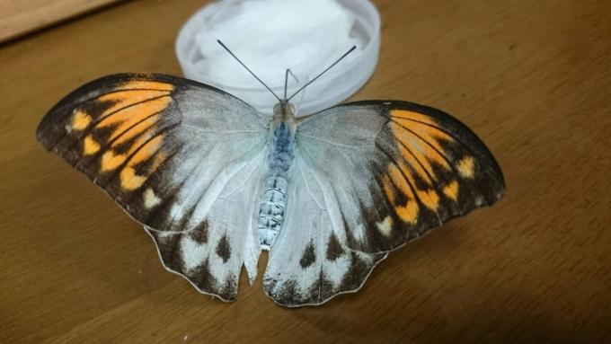ツマベニチョウ母蝶1