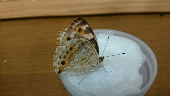 アオタモ母蝶1