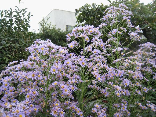 紫苑(しおん)
