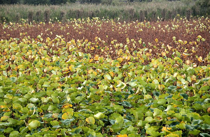 秋色のハス畑01