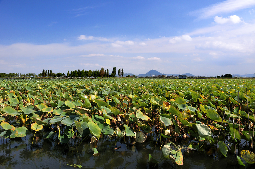 秋色のハス畑04