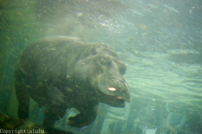 カバ 水中 動物園