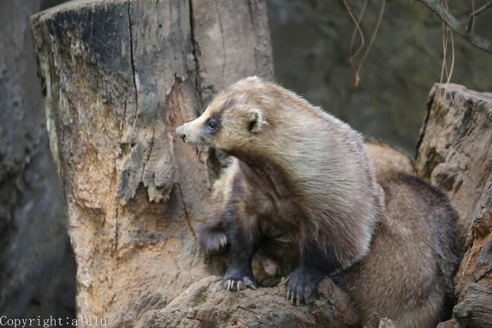 動物園 ニホンアナグマ