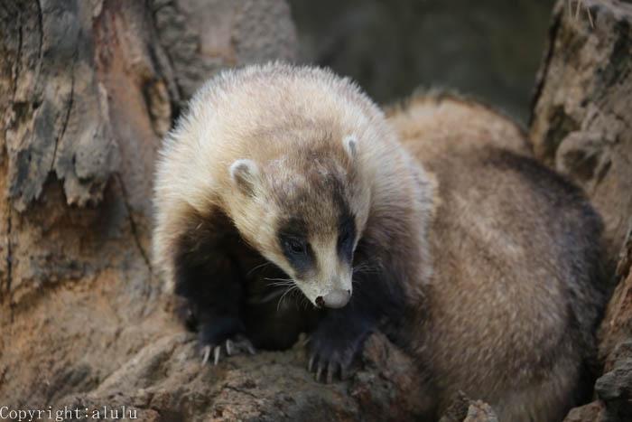 動物写真 ニホンアナグマ