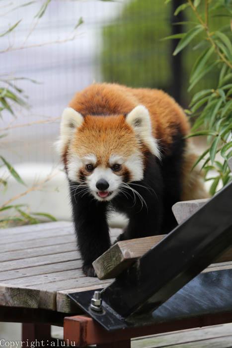 動物写真 レッサーパンダ
